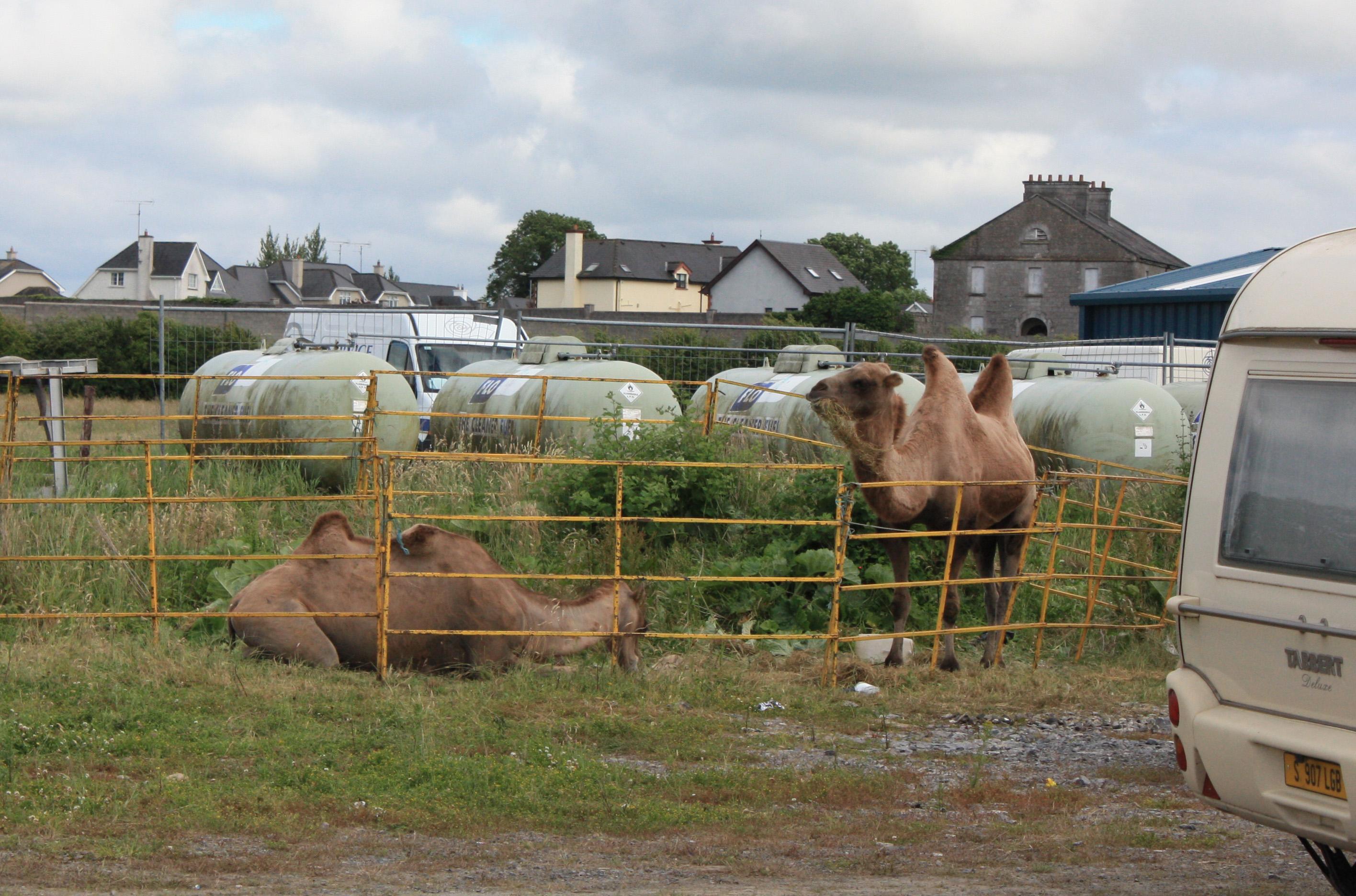 courtneys camels 12