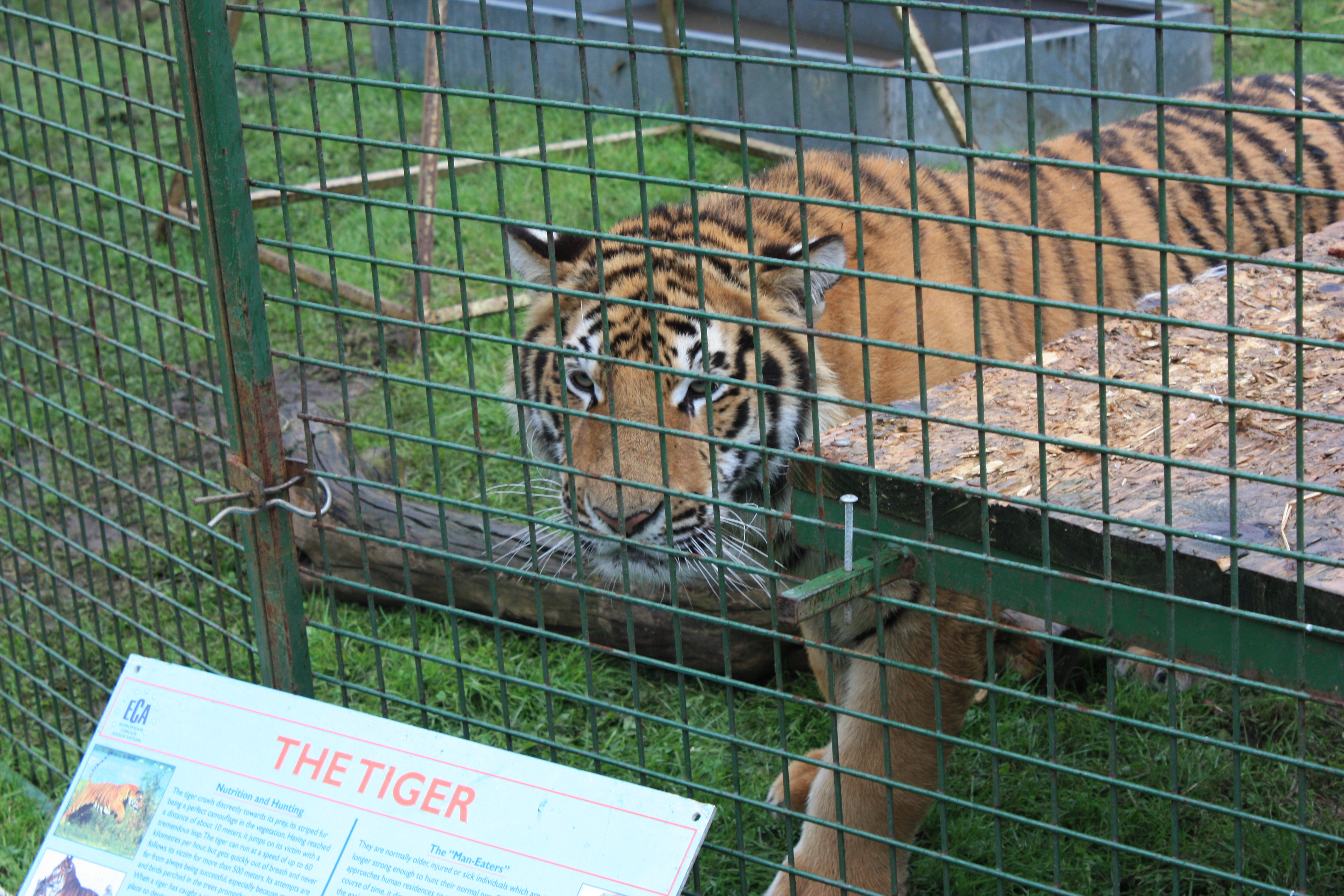 duffys tiger 12